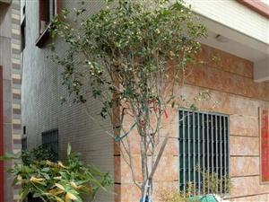 直径10多公分的大桂花出售,有2棵,有意者来电:15913511789