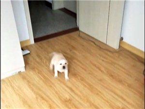 2月大拉布拉多幼犬便宜�u