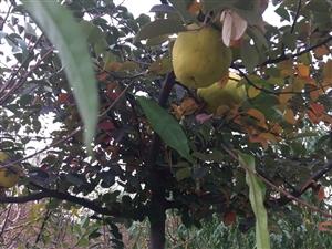 木瓜梨树苗有喜欢的联系