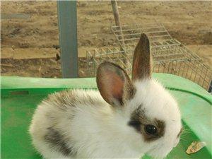 长期供应小兔商品肉兔