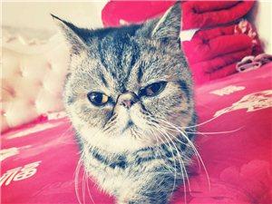 出售加菲猫