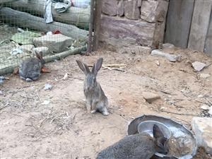 比利時雜交野兔出售
