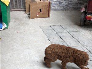 泰迪狗找主人