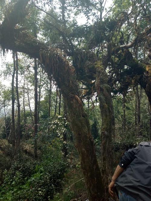 本人有千年黄香木两棵,主杆己死亡,高3米左右,一株真径约20公分,另一株直径约16公分左右,有喜欢收...