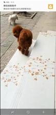 寻狗启示:棕色泰迪最后出现泉河医院东巴仆火锅门口