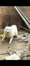 忍痛出售萨摩耶一年的小狗