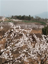 《春意杏花谷》
