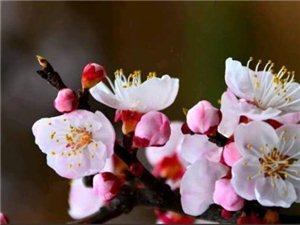 《杏花谷》2019・3・20――己亥踏青华胥阿氏杏花谷风吹干枝透绿芽,春意怒放杏花挂。山色