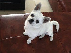 自家生養的半歲大寵物狗送人,如圖