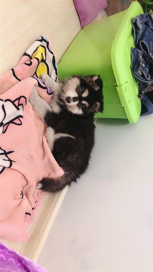 出售阿拉斯加雪橇犬母狗   三针以打完.600就卖