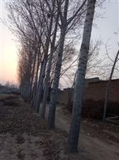 本人刨树,收树,大量收购杨树及各种树木。