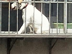拉布拉多被栓在窗外栏杆上