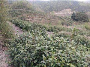 银屏山野生绿茶