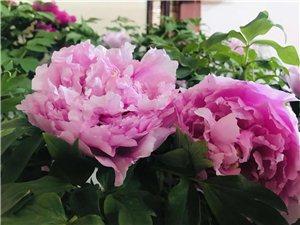 唯有牡丹真国色花开时节动京城