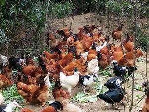 長期出售土雞,鴨,蛋