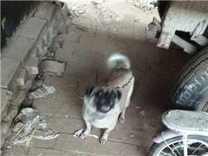 出售自家养的八哥犬