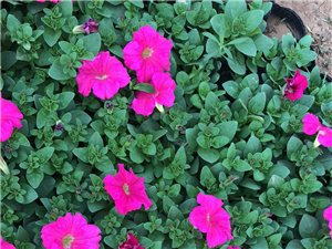 种植园出售草花