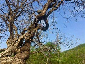 《藤绕树,树绕藤》