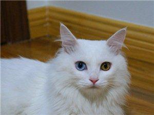 求一只異瞳獅子貓