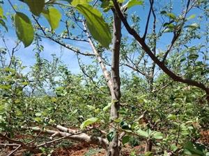 位于果场附近有23亩苹果园出售,年产10万斤以上苹果,非诚勿扰!价钱面议。