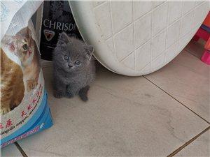 藍貓幼崽出售