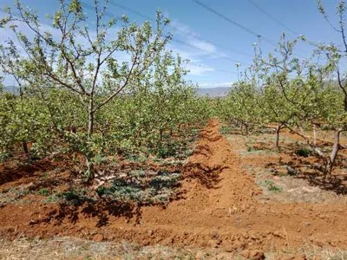 位于果场附近有23亩苹果园转让,年产10万斤以上苹果,价钱面议,非诚勿扰!