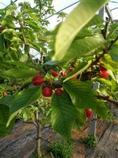 金樱农场大樱桃(车厘子)供货量大品质好,现己成熟,欢迎广大客商、电商前来参观洽谈,各界人士观光、采摘