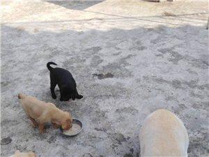 神犬小七拉布拉多犬