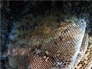 出售野生蜂蜜