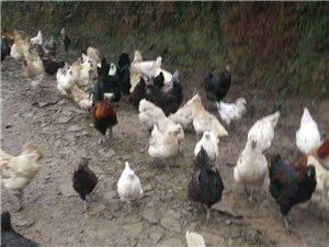 正宗本地白羽,黑羽乌鸡及乌鸡蛋出售
