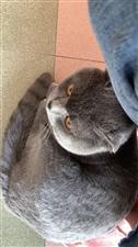 寻猫启事:丢失一只英短男一岁昨天晚上跳窗不知所踪