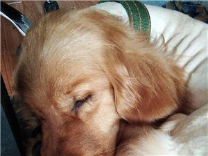 特价红枫叶金毛成犬
