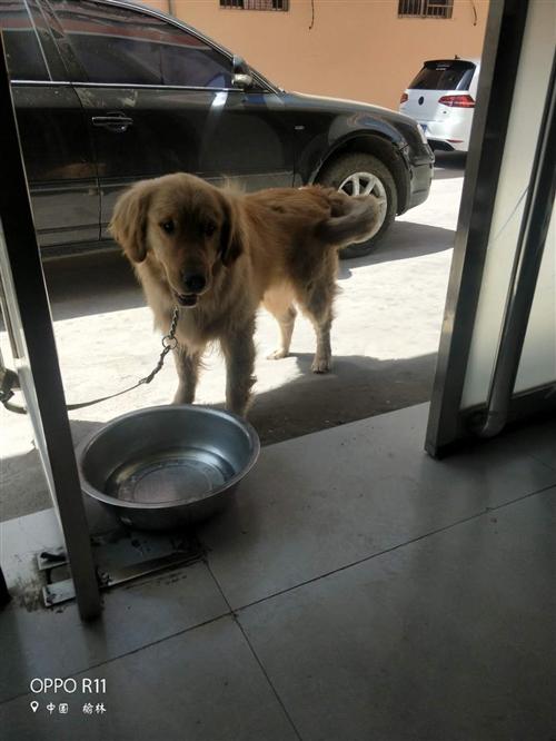 一只金毛出售  因本人没时间养  价格可以商量   此狗不在家里大小便