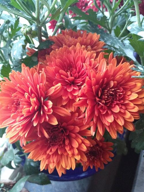 自己扦插的茉莉花苗出售15元一颗,荷兰四季菊花苗10元一颗。紫色九月菊8元一颗。