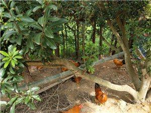 山上放养喂糠的鸡