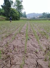 60年难遇的干旱,四川省邻水县,希望有关部门关注