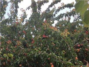 养殖场纯天然绿色水果