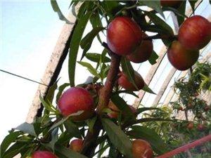 砀山大棚油桃上市了