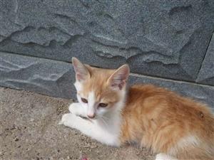 中华田园猫。