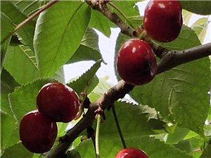 通许县 迎宾大道  丽星集团对面  樱桃采摘基地