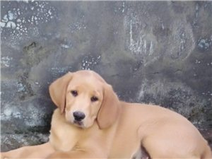 自己家养的拉布拉多犬便宜卖了