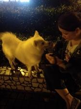求收养,2岁银狐犬