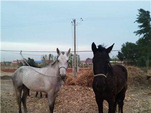 给爱马寻找新主人啦??,欢迎爱马的朋友们来电咨询