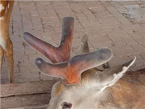 梅花鹿鹿茸销售