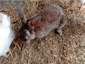 比利时公兔出售