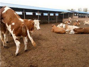 出售品種肉牛