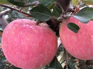 隰县红富士苹果90#起步12颗装
