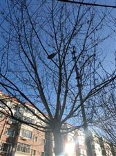 绿树为何变枯树