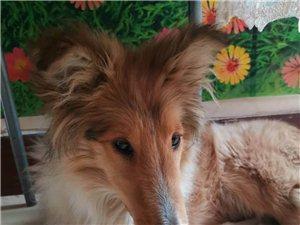 有想养狗的吗,幼犬苏牧,详情加微私聊。!