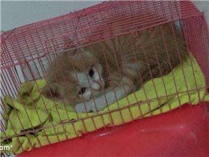 卖一直很小一两个月的猫咪  八十元一口价  乖 聪明